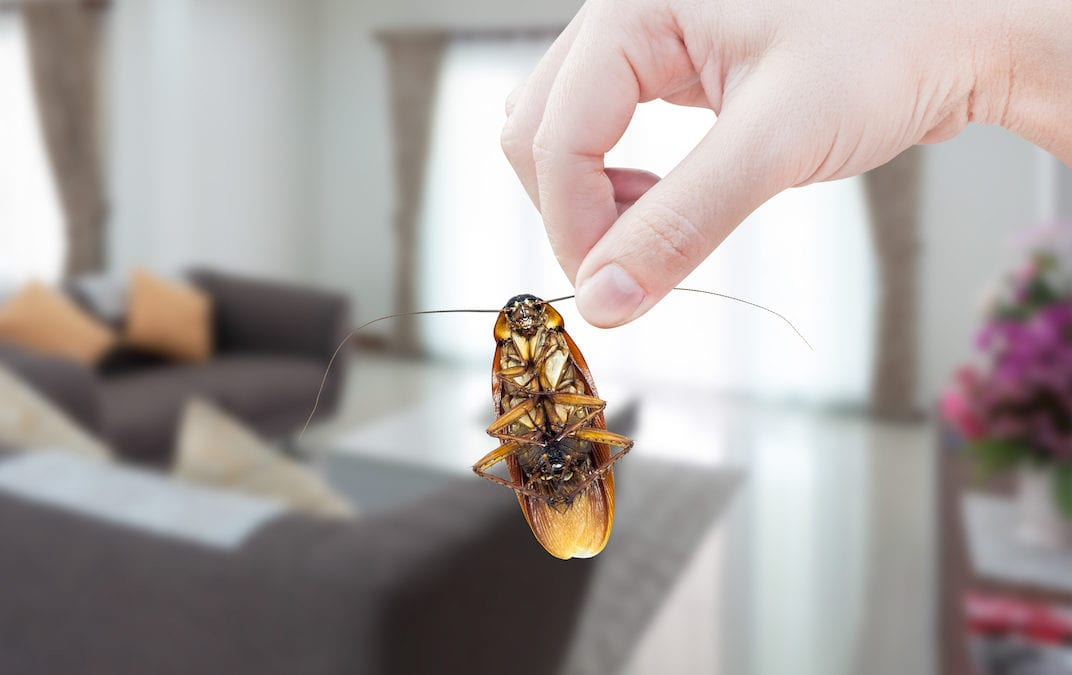 Woman's Hand holding cockroach on room in house background