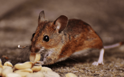 Mice Could Live in Your Car
