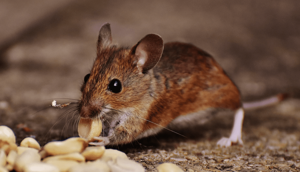 A mouse eating some nuts.