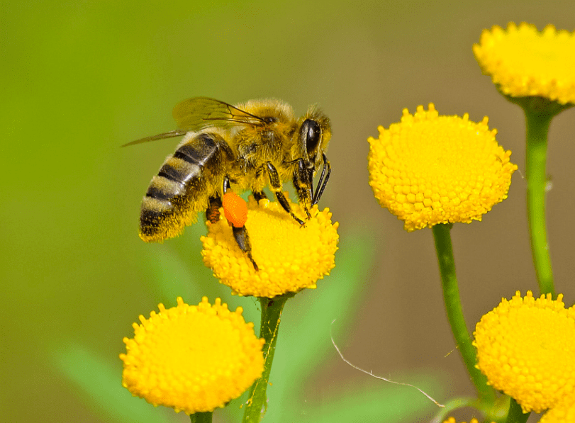 A bee sitting on a sunflower.