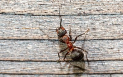 Homeowners' Guide to Getting Rid Of Summer Ants