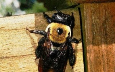 Carpenter Bees: Facts and What to Do When They Are Around the Yard