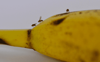 Tips for Getting Rid of and Preventing Fruit Flies