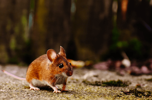 A brown mouse.